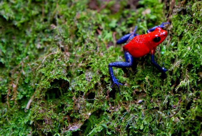 rio-celeste-poison-dart-frog-900×900